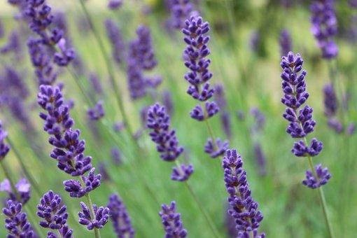lavender-2461880__340