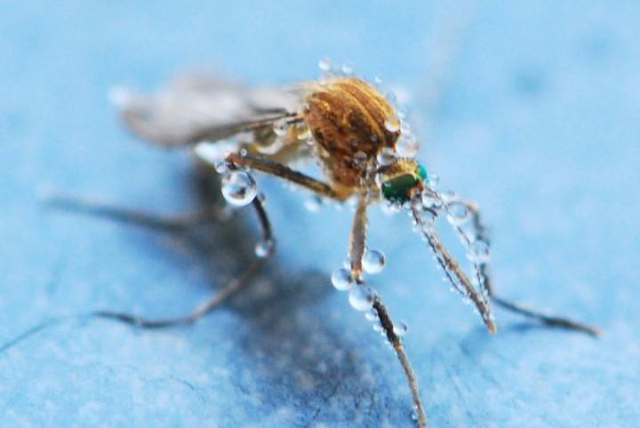 Frozen Mosquito 2